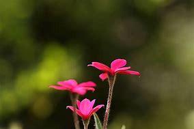 アッツザクラ 花言葉「愛を待つ」