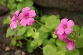 オキザリス 花言葉「ひたむきな愛」