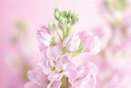 ストック 花言葉「永遠の美」