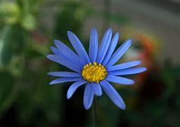ブルーデイジー 花言葉「恵まれて」