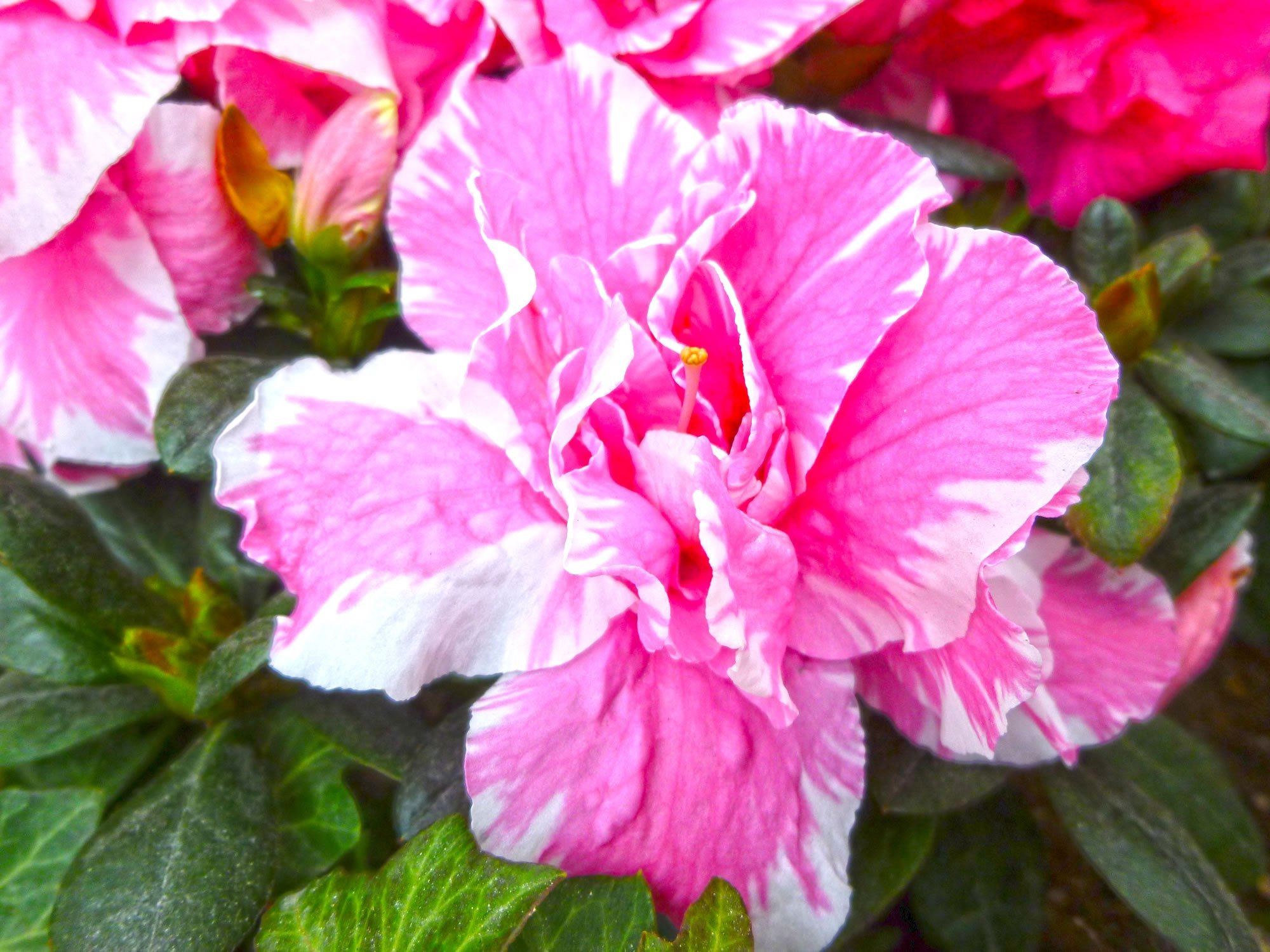 アザレア:花言葉「愛される喜び」