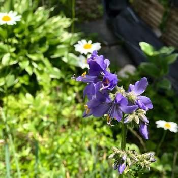 ハナシノブ:花言葉「野生美」