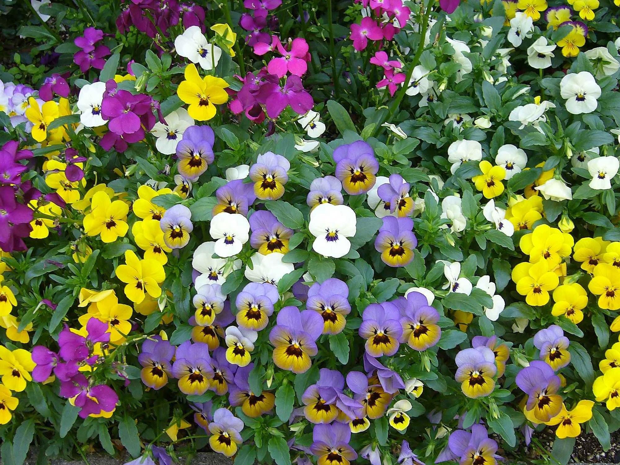 ビオラ:花言葉「誠実」