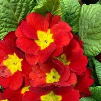プリムラ:花言葉「永続する愛」