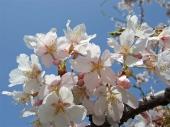 桜:花言葉「高潔」